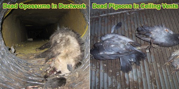 Dead Animal In Duct Work Bad Smell And Odor In Vents