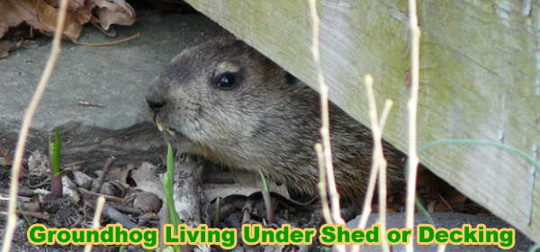 how to get rid of a groundhog under my shed deck or house
