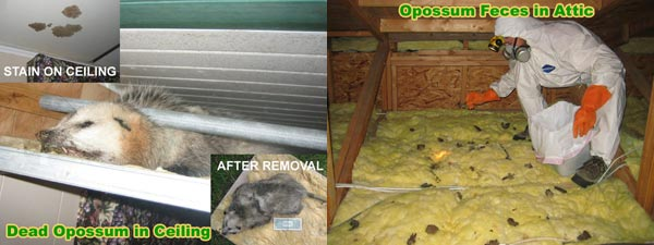 Opossum Removal And Control Professional Wildlife Management