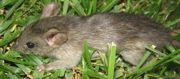 AFRMA - Medical - Rat Bite Fever