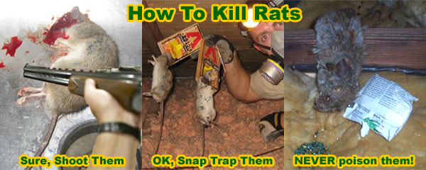 How To Kill A Rat In Your House Instantly And Humanely
