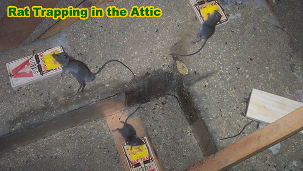 How To Trap A Rat Rodent Trapping Tips On How To Catch