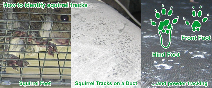 Squirrel Tracks How To Identify Footprints Photographs