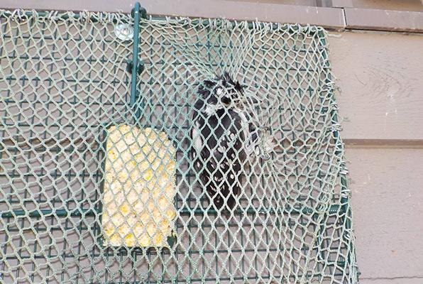 How To Trap A Woodpecker Woodpecker Trap